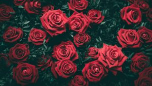 Best Rose Fertilizers