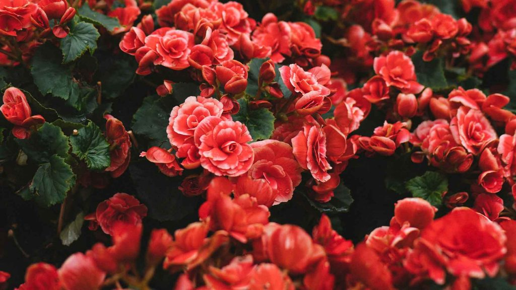 best soil for roses