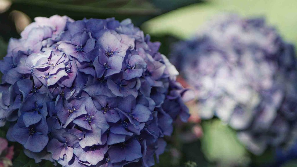 Best Fertilizers For Hydrangeas