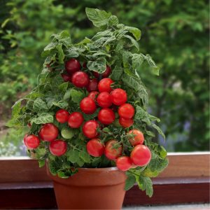 Cherry Tomato Best Vegetables For Container Gardening