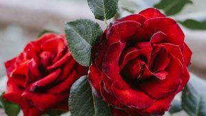best fertilizers for knockout roses