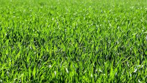 best grass seeds for sandy soils