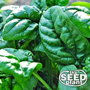 Early No. 7 Spinach Seeds