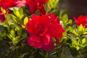 Evergreen Shrub-Autumn