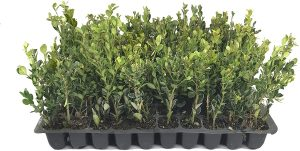 Fast Growing Boxwood Plants
