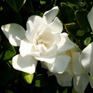 White Bloom Best Evergreen Shrub Home
